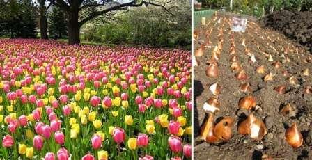 Сегодня поговорим о том, возможна ли посадка тюльпанов весной, когда и как посадить луковицы, чтобы цветы появились в этом же году.
