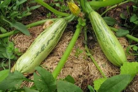 Сорт кабачков-цукини с невероятной урожайностью — до 20 кг (в открытом грунте меньше).