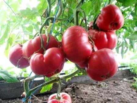 Тем, у кого в приоритете находится урожайность овоща, стоит обратить внимание на отдельный список рекомендованных сортов