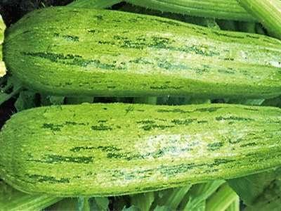 Способ выращивания — открытый грунт, размер куста компактный.