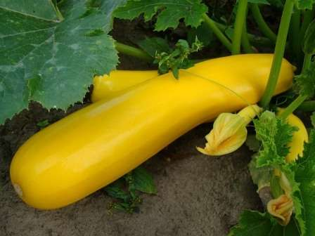 Ранний длинноплетистый сорт с плодами диаметром 6 см, длиной — 20 см, весом — до 0,5 кг (смотрите фото)