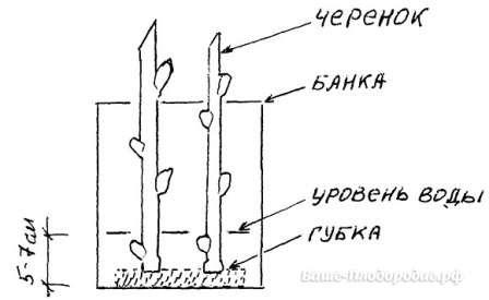 Черенки ставят на проращивание в высокую посуду с водой.