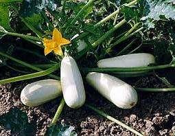 Отличный сорт для открытого грунта с высокой урожайностью — до 11 кг/м²