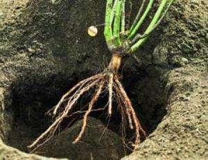 Далее внутрь засыпают небольшое количество почвы (можно добавить в нее компост) для создания холмика.