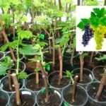 Как прорастить виноградные черенки в домашних условиях?