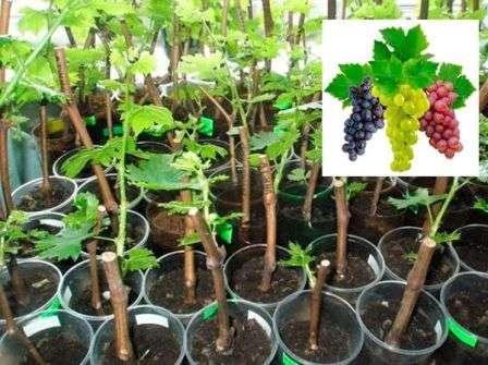 когда срезать виноград на черенки