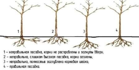 Корневая шейка деревца должна оказаться после посадки на уровне земли или на 10-12 см ниже.