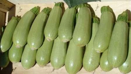 Средняя урожайность кабачков — 7-8 кг с 1 м²