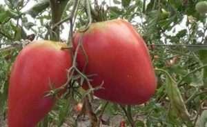 У большого круга дачников и огородников первостепенное значение имеют вкусовые характеристики овощей.