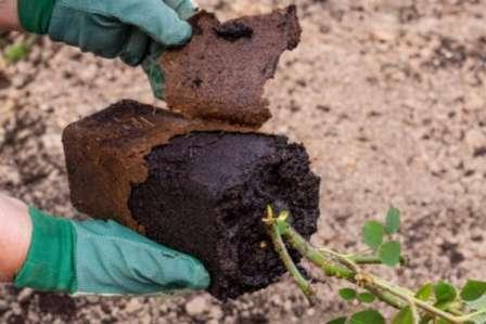 Покупая саженцы роз без коробки, уделите особенное внимание осмотру корней.