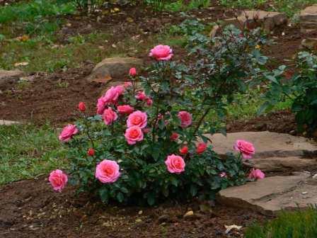 Темой сегодняшнего обсуждения на нашем сайте для фермеров является посадка роз весной. Когда и как сажать розы после зимы, знают профессиональные садоводы.