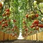 Лучшие сорта томатов для теплицы в 2018 году