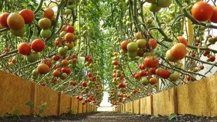 Чтобы определить, какие сорта томатов лучше сажать в теплице из поликарбоната в 2018 году, нужно не только ознакомиться с проверенными и новыми разновидностями, имеющимися в продаже, но и взять в расчет условия в своей теплице.