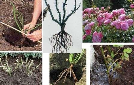 посадка роз весной когда и как сажать розы закупоренные