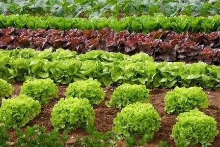 Популярные сорта салата для открытого грунта: фото с описанием