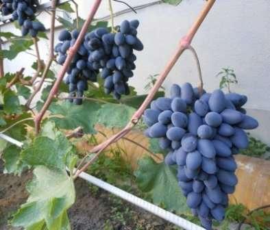 Сладкий виноград с приятной мармеладная консистенцией.
