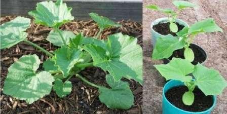 Уход за рассадой кабачков очень прост — своевременный полив, рыхление и, по необходимости, подкормка.