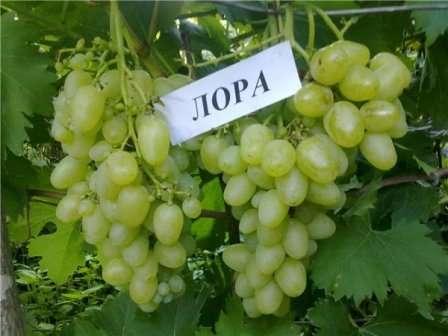 Сорт хорошо известен в кругах виноградарей и покупателей. Он известен также под названием Флора.