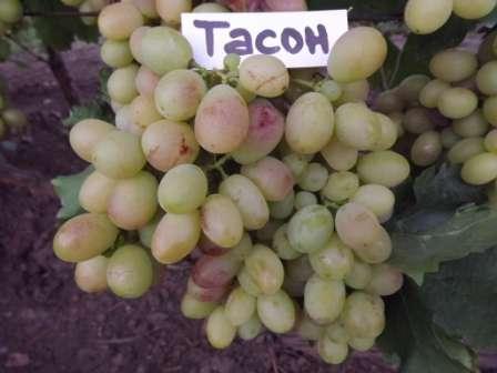 Ягоды этого гибрида винограда можно ставить на стол уже в конце второго месяца лета.