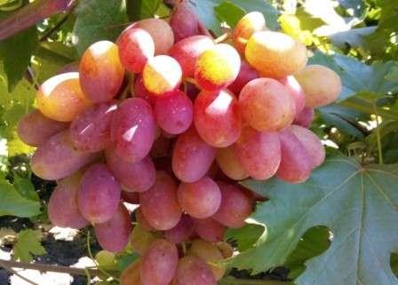 Виноград с изумительными крупными ягодами розового окраса, имеющими во вкусе нотки муската.