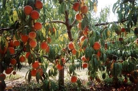 Сегодня детальному обзору нашего фермерского сайта подвергается обрезка персика весной: видео для начинающих и описание этапов.