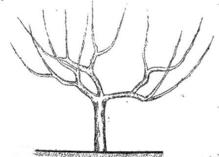 Персик особенно активно тянется вверх, оголяя нижнюю часть. Задача садовода — сформировать приземистую чашеобразную крону с равномерно распределенными плодами.