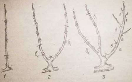 Плодоношение персика регулируется за счет побегозамещения. (Об этом дальше в тексте и видео).