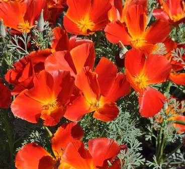 Эшшольция калифорнийская начинает цвести с самого начала лета и увядает в октябре, дает самосев.