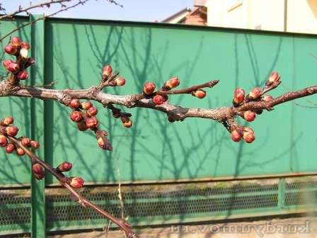 Весеннюю обрезку опытные садоводы планируют на короткий период между набуханием почек и началом цветения.