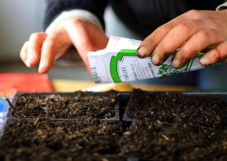 Многие садоводы и цветоводы сеют маттиолу без какой-либо обработки.