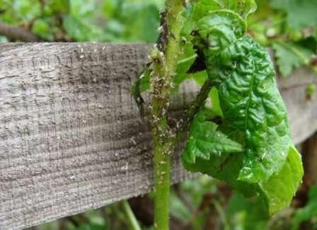 Наличие тли на смородине можно определить по скрученным побегам и листьям.