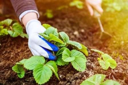 Сегодня на сайте, посвященном фермерскому хозяйству, будем обсуждать вопрос: как ухаживать за клубникой весной, чтобы был хороший урожай.