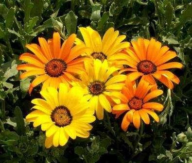 Выносливый красивый цветок, который сажают в цветники, сады, на передний план цветочных бордюров, в вазоны на террасах и внутренних двориках.