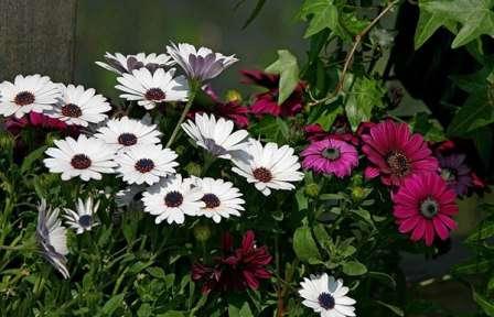 Срок цветения достаточно длительный — с начала лета до самого октября.