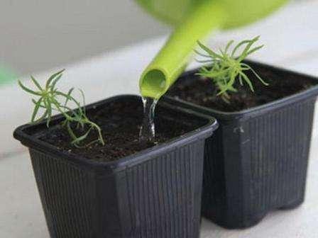 Посадку семян в таком случае осуществляют ранней весной (март/апрель). В мае в открытый грунт пересаживаются уже хорошо развитые кустики.