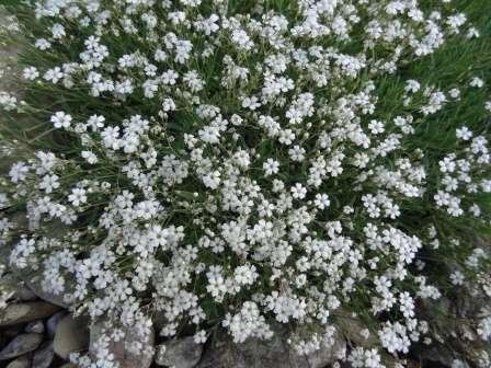 Как видно на фото, это растение с необычайно нежными розовыми или белыми цветочками.