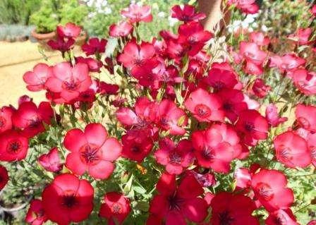 Часто применяется на даче для создания альпинария. Цветы отличаются очень ярким окрасом (красный, розовый, голубой и т. д.).