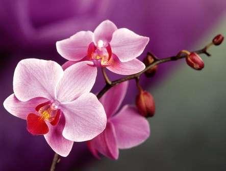 Чтобы орхидея в горшке чувствовала себя абсолютно комфортно, необходимо соблюдать правильно три режима: