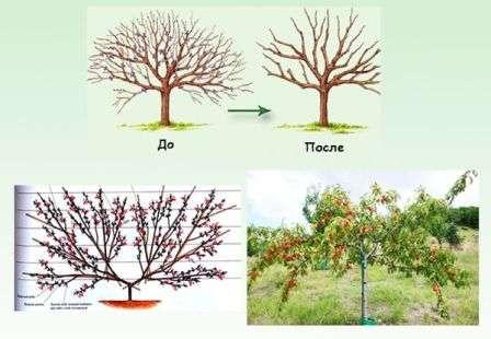 Обрезка персика не производится ежегодно по одной схеме.