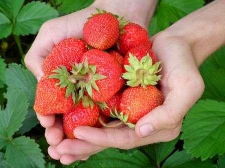 Советы опытных садоводов, ежегодно снимающих большие урожаи клубники, не стоит оставлять без внимания новичкам и малоопытным дачникам.