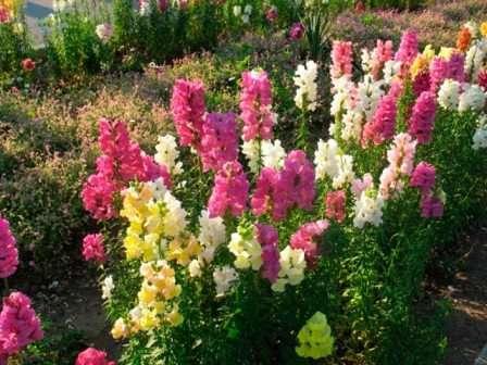 Второе название цветка — львиный зев.