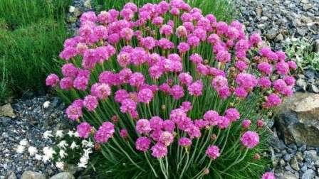 Аккуратные кустики с нежными цветочками требуют самого простого ухода и не нуждаются в укрытии на зиму.