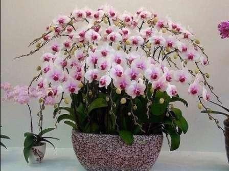 В выращивании цветка нет каких-то сложных мероприятий, но указанных простых правил следует придерживаться неукоснительно.