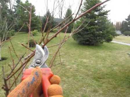 Без обрезки или при неправильном ее проведении, плоды персика будут мелкими и невкусными, а дерево истощится от обилия плодов, что может привести к болезням.