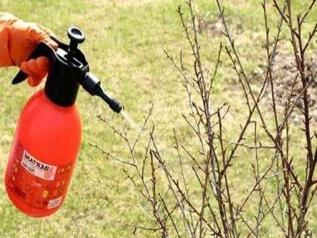 Чтобы уберечь плодовые культуры, в том числе ценную смородину, специалисты советуют обработать весь сад ранней весной, до того, как проявятся признаки заболеваний или поселения вредителей.