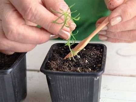 Полив — важный нюанс в выращивании кохии. Он должен быть регулярным, иначе растение ослабнет или заболеет.