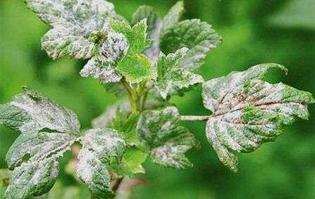 Признаком мучнистой росы на смородине весной является светло-серый налет на листьях.