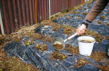 Весной клубнику следует подкормить азотосодержащими средствами.