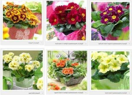 В особенном уходе примула нуждается в период цветения.