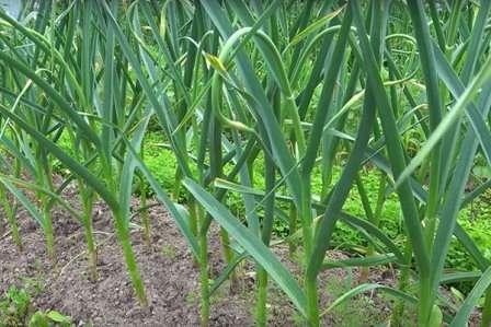 В начале вегетации чесноку и другим культурам более всего нужен азот, отвечающий за рост стебля и развитие листиков растения.